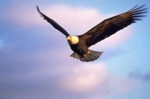 Bald Eagle flying and hunting
